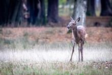 A Young Deer In A Forest Meadow