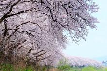 足羽川堤防の桜並木満開