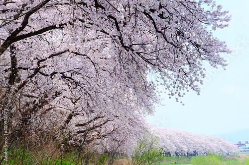 Photo 足羽川堤防の桜並木満開