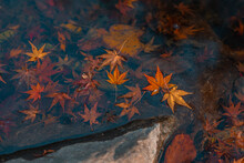 Red And Yellow Maple Leaves On Water, Autumn Time.