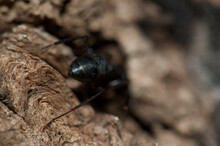 Back View Of An Ant Camponotus Compressus. Keoladeo Ghana National Park. Bharatpur. Rajasthan. India.