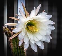 Queen Of The Night Cactus