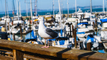 Seagull Standing On A Wooden Rail By The Marina