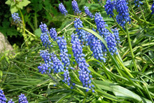 Group Of Grape Hyacinth (Muscari Armeniacum) Blooming In The Spring. Blue Flowers In Spring Garden. Bright Natural Green Background.