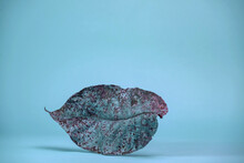 Beautiful Faded Old Colorful Leaf In Blue Light. Minimalism Autumn Style Concept. Background Pattern For Design.
