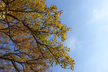 Sky And Branches Of Mulberry In Mid October
