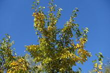 Upright Branches Of Mulberry Against Blue Sky In Mid October