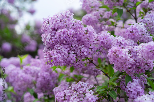 Fotografie, Obraz Blooming lilac flowers