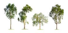 Eucalyptus Tree Isolated On White Background