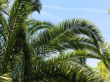 Palm Tree Branches On Blue Sky Background