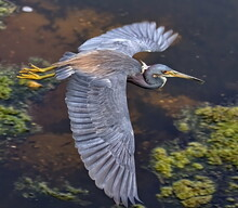 Looking Down Upon A Great Blue Heron With Spread Wings Crossing A Pond.