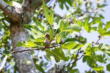 A Ripe Fig On Tree