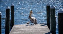 Brown Pelican And Seagull On A Pier
