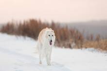 Cute, Crazy And Happy Beige And White Russian Borzoi Dog Or Wolfhound Running On The Snow In The Winter Field.