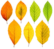 Set Of Backlit Autumn Beech Tree Leaves Isolated On White Background, Clean And Sharp, High Resolution