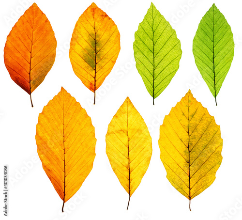 Set of backlit autumn beech tree leaves isolated on white background, clean and Fototapet