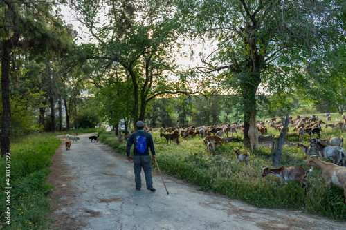 Goats and the goatherd Fototapet