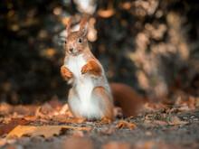 Nahaufnahme Von Einen Europäisches Eichhörnchen Das Mit Angewinkelten Vorderpfoten Auf Dem Waldboden Sitzt Und In Die Kamera Blickt.
