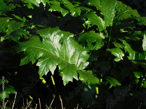 Fototapeta Bear's beeches, or oyster plant, or Acanthus mollis foliage in Athens, Greece