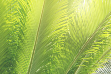 Green Leaves Of Sago Cycad Tree Natural Pattern Background