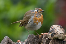 Robin With Mites Infestation