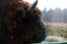 Winter Image With Four Aurochs Or Bison Bonasus, The Last Representative Of Wild Bulls In Europe. European Endangered Artiodactyl Animal.Ox Hoof Beats