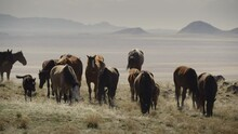Wide Shot Of Approaching Herd Of Horses In Field Near Mountain Range / Dugway, Utah, United States