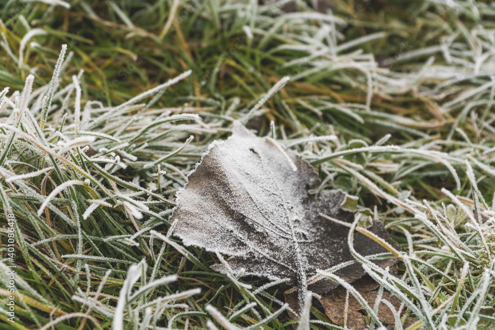 Fototapeta Oszroniony liść w zielonej trawie