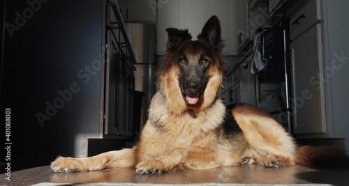 Obraz na plátně german shepherd dog