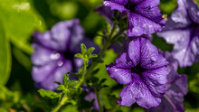 Closeup Shot Of Violet Morning Glory Flower Or Ruellia Tuberosa Blooming With Water Drops In A Garden