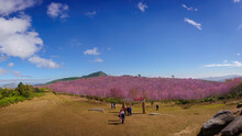 Beautiful Panorama Of Phu Lom Lo Mountains Is Famous Place And Travel Destination Of Wild Himalayan, Cherry Pink Blossom Sakura Flower Or Prunus Cerasoides