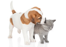 Playful Jack Russell Terrier Puppy Sniffs Tiny Scottish Kitten. Isolated On White Background