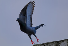 Domestic / Rock Pigeon