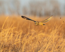 Short Eared Owl Hunting Over The Prairie