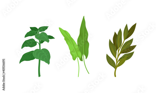 Fototapeta Aromatic Herbs with Sage for Flavoring and Garnishing Food Vector Set obraz