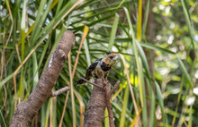 A Crested Barbet Isolated In A Garden Setting Image In Horizontal Format