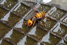 スズメバチの飲水タイム! オオスズメバチがマンホールに溜まった水を飲みに来ていました!