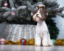 Chocolate Biewer Yorkshire Terrier Sits In Front Of The Christmas Tree. And The Head Has A Bow With A Ponytail.