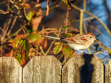 Male House Sparrow On A Backyard Fence In Tennessee