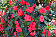 Impatiens Hawkeri Is Commonly Known As New Quinea Impatiens Flower.