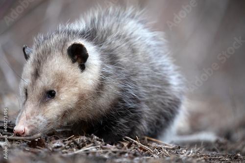 Fototapeta Opossum