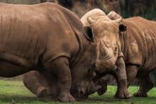 Horizontal Outdoors Shot Of Rhinos Pasturing On Green Lawn.