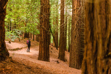 Back View High Angle Of Anonymous Tourist With Backpack Walking On Trail In Woods Of Monte Cabezon Natural Monument Of Sequoias In Cantabria And Admiring Scenery