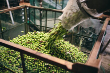 Unrecognizable Worker In Gloves Pouring Raw Green Olives In Container For Storage In Warehouse Of Factory