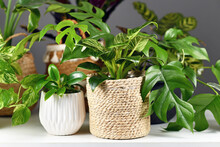 Various Indoor Houseplants Like Rhaphidophora Or Philodendron In Beautiful White Ceramic And Woven Basket Flower Pots