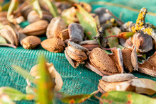 From Above Heap Of Nuts In Shell With Sprigs Of Almond Tree On Net On Ground