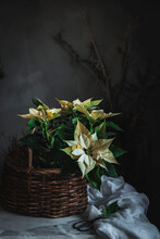 Yellow Euphorbia Pulcherrima On Wooden Basket Placed On White Fabric In Dark Room Background