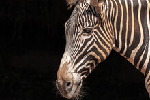 Closeup Of Muzzle Of Cute Wild Zebra With Striped Fur Standing In Nature