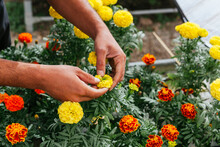 Unrecognizable Male Gardener In Apron Caring For Yellow Marigold Flowers While Working In Greenhouse