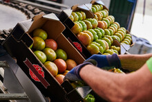 Crop Unrecognizable Worker Putting Fresh Green Tomatoes In Cardboard Boxes While Working On Agricultural Farm
